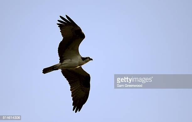An osprey flies over the course during the first round of the Valspar Championship at Innisbrook Resort Copperhead Course on March 10 2016 in Palm...