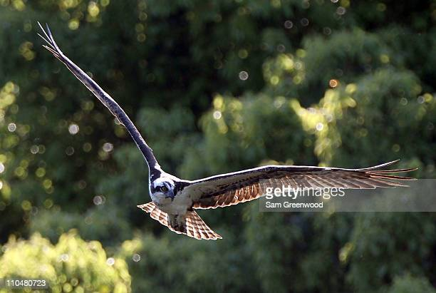 An Osprey hunts along the 16th hole during the third round of the Transitions Championship at Innisbrook Resort and Golf Club on March 19 2011 in...