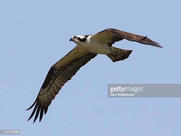 An osprey hunts over the 4th hole during the second day of the Tavistock Cup at Isleworth Golf Country Club on March 15 2011 in Windermere Florida