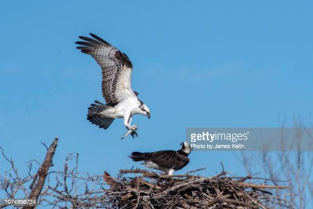 an osprey lands in its nest with a freshly caught fish in its talons as its mate watches. - rovfågel bildbanksfoton och bilder