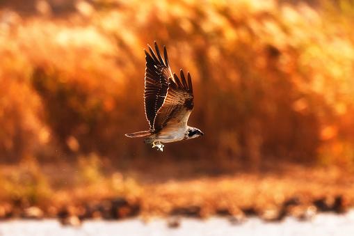 An Osprey - gettyimageskorea