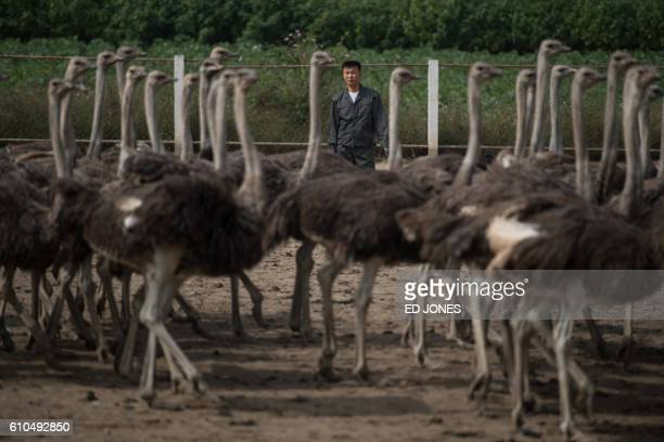 An ostrich farmer stands by his ostriches at a farm on the outskirts of Pyongyang on September 26 2016 / AFP / Ed Jones