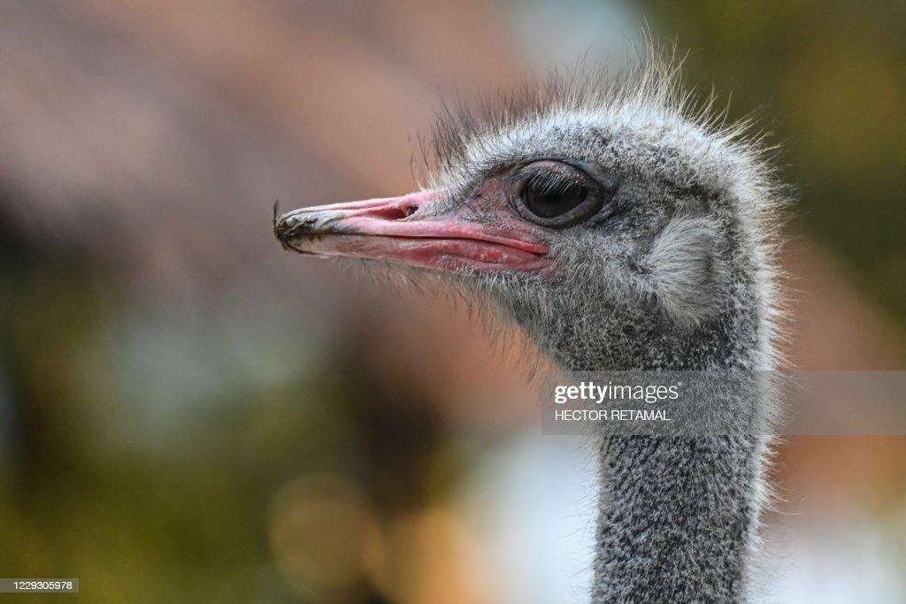 CHINA-ANIMAL-OSTRICH : News Photo
