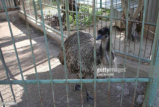 An ostrich looks on from inside it's cage at a zoo in Khan Yunis in the southern Gaza Strip on March 5 2016 / AFP / SAID KHATIB
