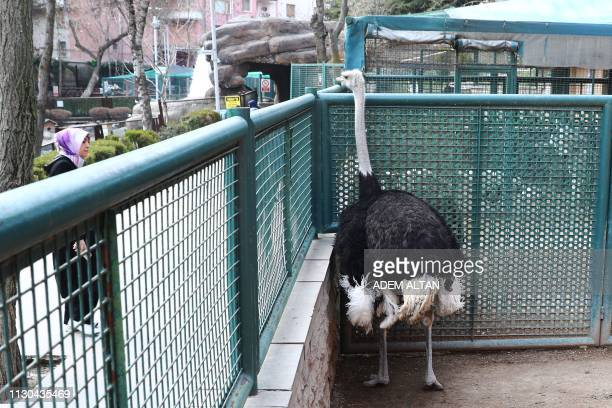 An ostrich looks out from its enclosure at the Kecioren Municipality Pet Park in Ankara on March 14 2019