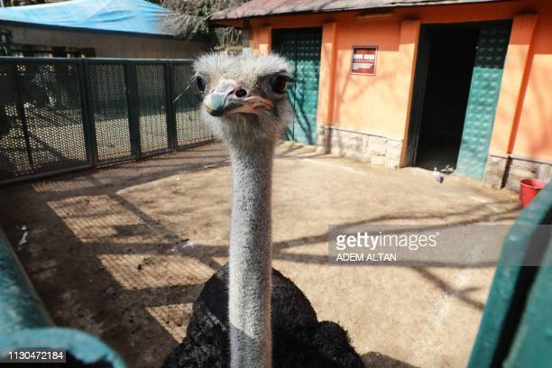 An ostrich stands in its enclosure at the Kecioren Municipality Pet Park in Ankara on March 14 2019