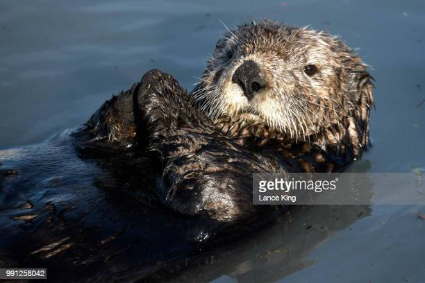 An otter relaxes in the Seward Boat Harbor on July 3 2018 in Seward Alaska The Mount Marathon Race is held every year on July 4th and the approximate...