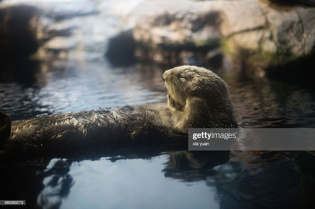 An otter resting on its back : Stock Photo