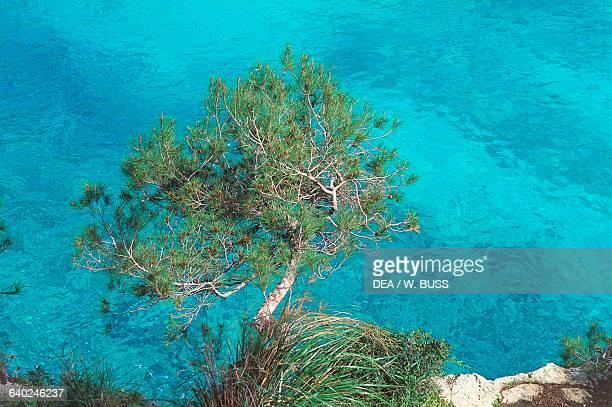 An overhanging tree on the coast near the Cala Santanyi cove Majorca island Balearic islands Spain