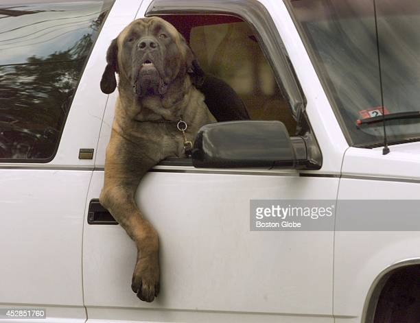 An oversized dog in an oversized pickup truck driving along route 53 in Pembroke appears to be enjoying the ride