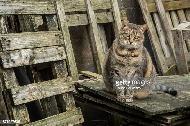 An overweight tabby cat sitting outside surrounded by wooden planks