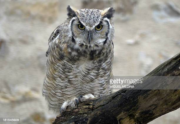 An owl is pictured at the Fauna films park on September 18 2013 in Villemer outside of Paris With few hectares Fauna Films founded by Pierre Cadeac...