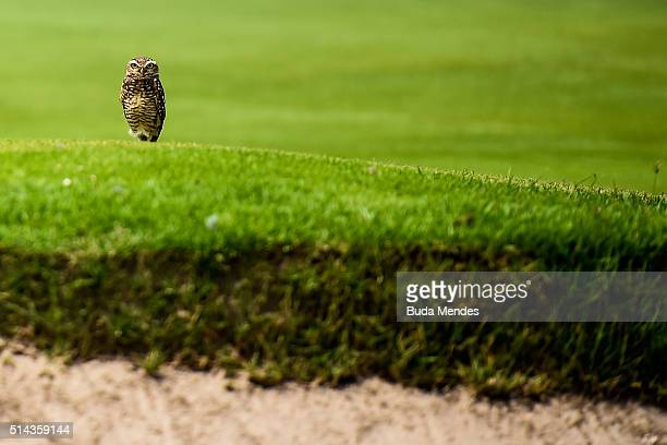 An owl looks on during the Golf Tournament Aquece Rio Test Event for the Rio 2016 Olympics at the Olympic Golf Course on March 8 2016 in Rio de...