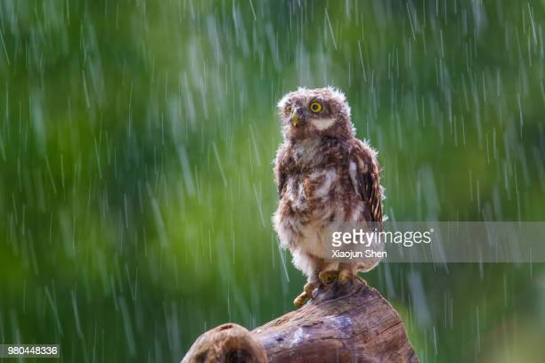 An owl perching in the rain.