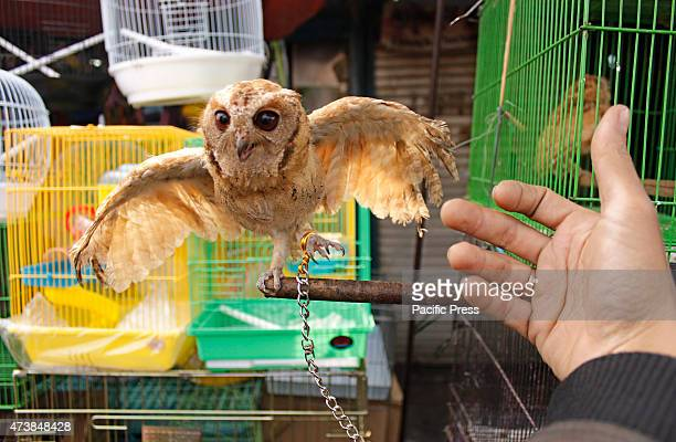 An owl seen at the Jatinegara bird market in Jakarta Indonesia primates owls otters snakes and other endangered animal are sold openly in the middle...