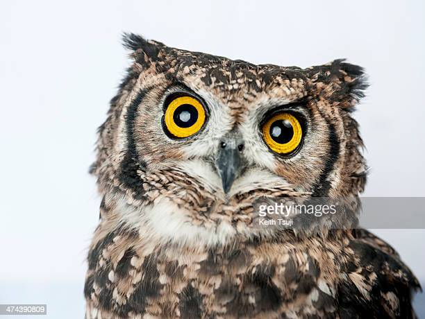 An owl sits on display at Torino Iru Cafe on February 23 2014 in Tokyo Japan Located in Kiba Tokyo Torino Iru is a cafe where people can get up close...