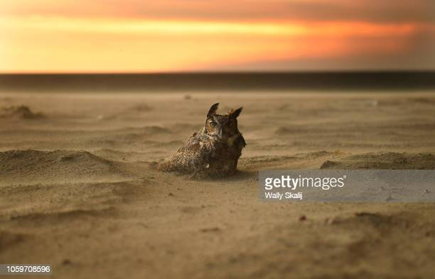 An owl sits onthe beach in Malibu as the Woolsey Fire approaches Friday