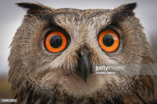 An owl which were treated by Dr Lokman Aslan who is the pioneer of Wildlife Rehabilitation Centre is seen after its treatment in Turkey's Van...