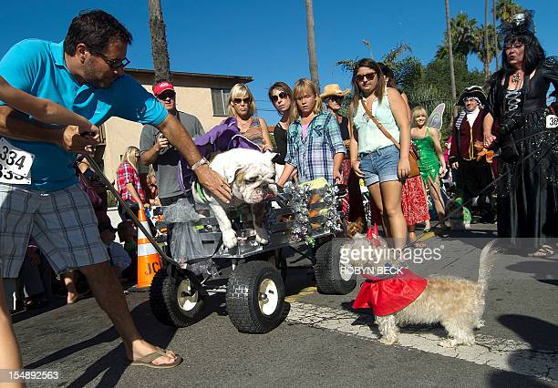 An owner acts fast to stop his bulldog from jumping out of his cart at a smaller dog at a Halloween dog costume parade and contest in Long Beach...