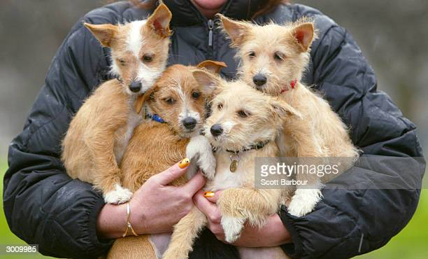An owner carries a handful of Portuguese Podengo puppies during the launch of the Crufts Dog Show February 24 2004 in London England Over 24000 dogs...
