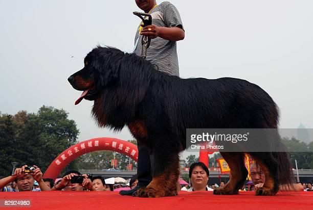 An owner displays his Tibetan Mastiff during a Tibetan mastiff show on September 20 2008 in Wuhan of Hubei Province China Tibetan Mastiffs a rare...