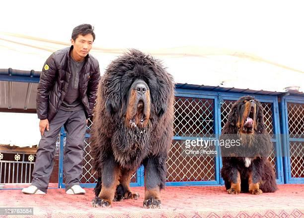 An owner displays his Tibetan Mastiff to potential buyers at a Tibetan Mastiff breeding center in Jiegu Township on October 16 2011 in Yushu County...