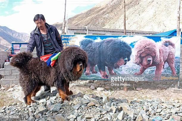An owner displays his Tibetan Mastiff to potential buyers at a Tibetan Mastiff breeding center in Jiegu Township on October 16, 2011 in Yushu County...
