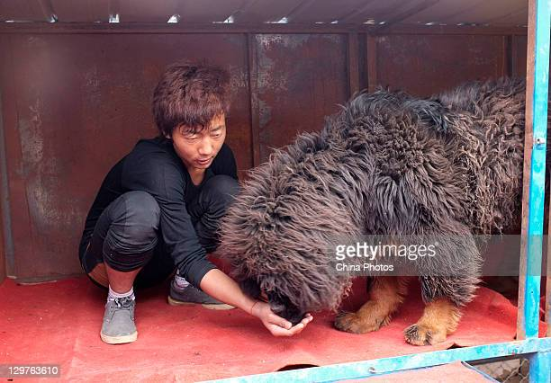An owner feeds his Tibetan Mastiff with beef at a Tibetan Mastiff breeding center in Jiegu Township on October 16, 2011 in Yushu County of Qinghai...