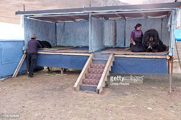An owner fondles a Tibetan Mastiff at a Tibetan Mastiff breeding center in Jiegu Township on October 16, 2011 in Yushu County of Qinghai Province,...