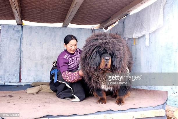 An owner fondles a Tibetan Mastiff at a Tibetan Mastiff breeding center in Jiegu Township on October 16 2011 in Yushu County of Qinghai Province...
