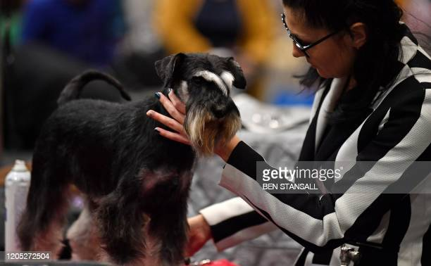 An owner grooms a Miniature Schnauzer on the first day of the Crufts dog show at the National Exhibition Centre in Birmingham, central England, on...