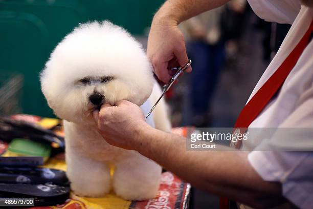 An owner grooms his Bichon Frise on the fourth and final day of Crufts dog show at the National Exhibition Centre on March 8, 2015 in Birmingham,...