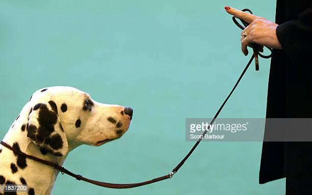 An owner keeps her dogs attention while it is being judged during the Dalmation class at the Crufts Dog Show March 9, 2003 in Birmingham, England....