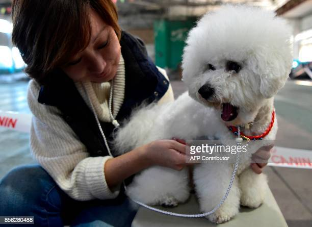 An owner prepares her Bichon Frise dog during the International dog exhibition in Bishkek on October 1 2017 Dog breeders from Russia Kazakhstan and...