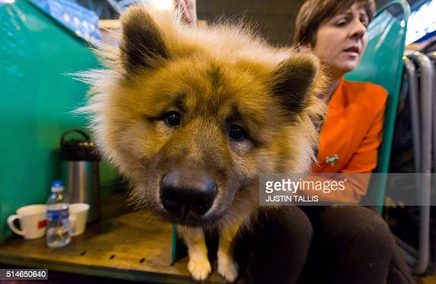 An owner sits alongside her Eurasian dog in its stall on the first day of the Crufts dog show at the National Exhibition Centre in Birmingham central...