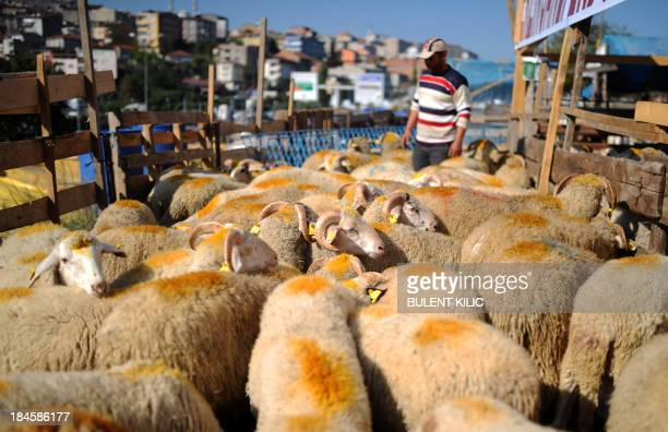 An owner waits near his sheepat a market in Istanbul ahead of the Muslim festival of Eid alAdha on October 14 2013 Muslims across the world are...
