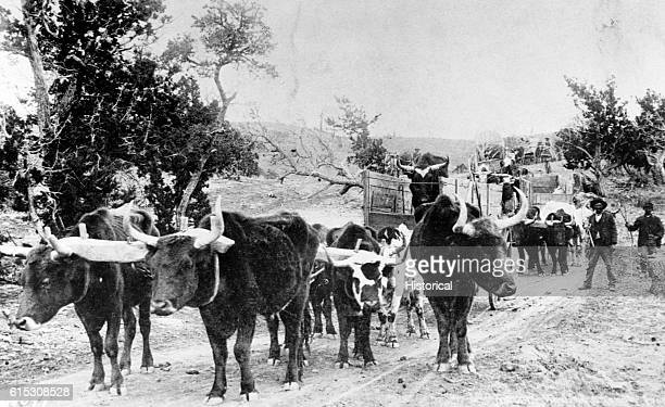 An ox train used to transport supplies in the Arizona Territory in 1883
