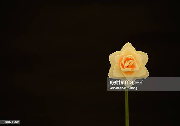 An unamed seedling daffodil stands on display as horticulturalists prepare their displays for the Harrogate Flower Show on April 25 2012 in Harrogate...