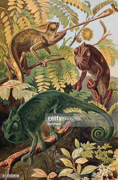 An undated color engraving depicting chameleons in their natural habitat From an original print