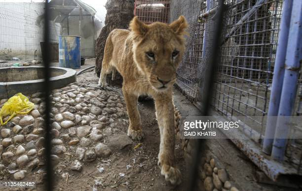 An undernourished lioness is pictured at a zoo in Rafah in the southern Gaza Strip during the evacuation by members of the international animal...