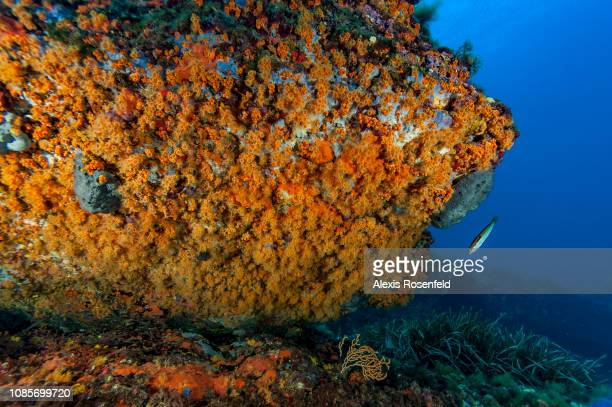 An undersea overhang covered with yellow encrusting anemones , on august 18, 2016 in Les Embiez, France. The Mediterranean represents a hotspot of...
