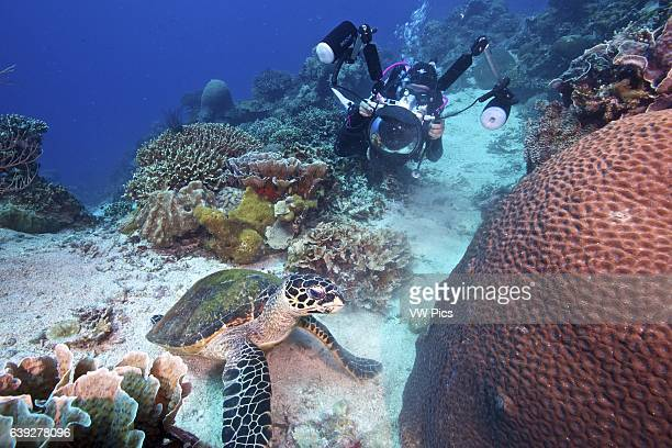 An underwater photographer getting a shot of a feeding hawksbill turtle at Apo Island, Philippines.