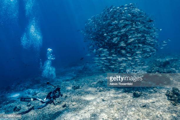 An underwater photographer photographing bigeye trevallies Caranx sexfasciatus forming a large tourbillon in the open water, on April 24, 2018 in...
