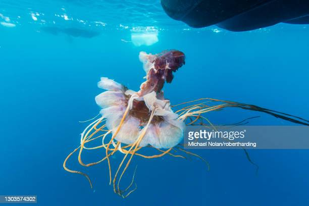 an unidentified jellyfish near the surface in paradise bay, antarctica, polar regions - invertebrate stock pictures, royalty-free photos & images