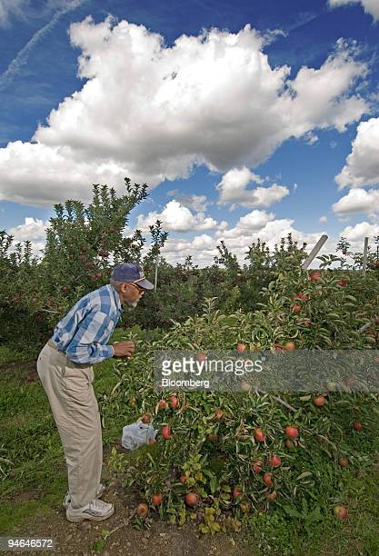 An Unidentified Man Picks Jonagold Apples Under A Cloudy Blue Sky At Lynds Fruit Farm Friday