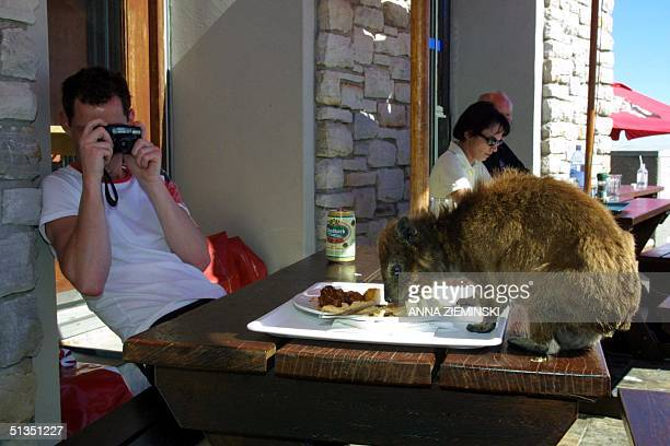 An unidentified tourist photographs a dassie as it scavenges for food at a restaurant on the top of Table Mountain Cape Town 22 January 2002 A...