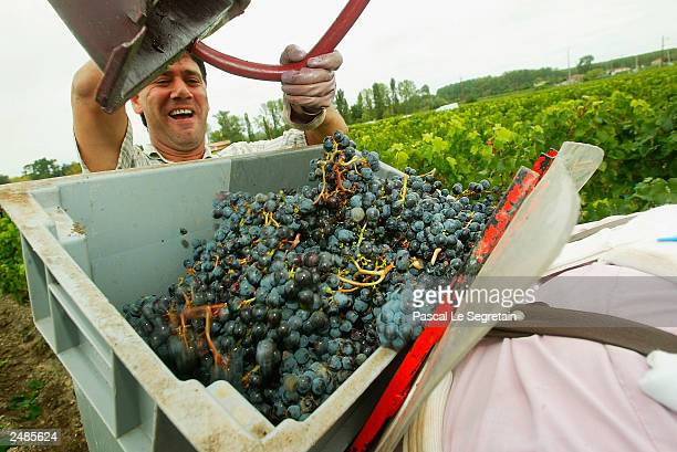 An unidentified worker clears out a basket of grape harvested at Chateau Siran Margaux on September 10 2003 in Labarde outside Bordeaux France This...