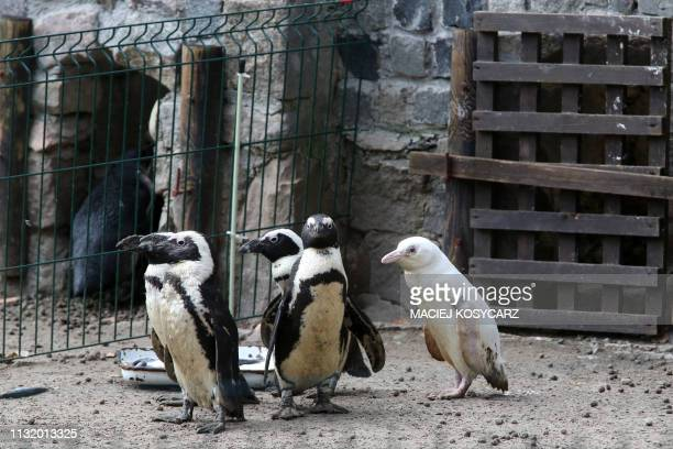 An unique albino penguin is pictured at the Gdansk Zoo on March 22 2019