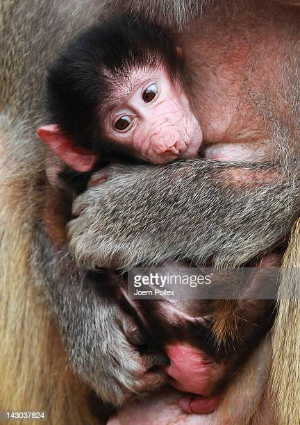 An unnamed baby baboon is seen in his mothers arms at the Hagenbeck Zoo on April 18 2012 in Hamburg Germany