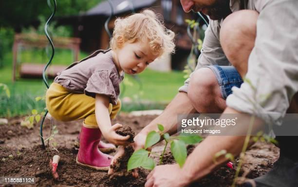an unrecognizable mature father with small child outdoors gardening. - gärtnern stock-fotos und bilder